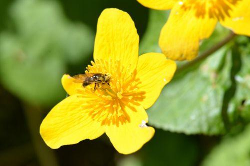 bee pollen caltha palustris