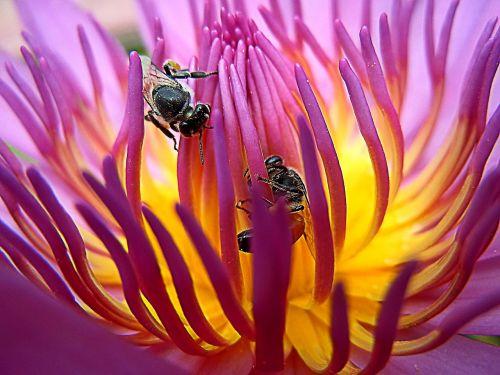 bee lotus gregory sonbua