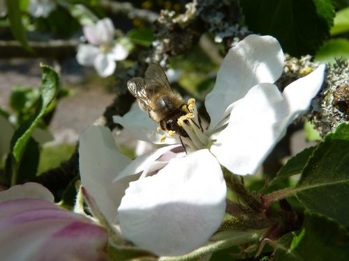 bee apple blossom apple