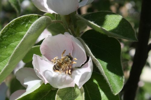 bee quince blossom