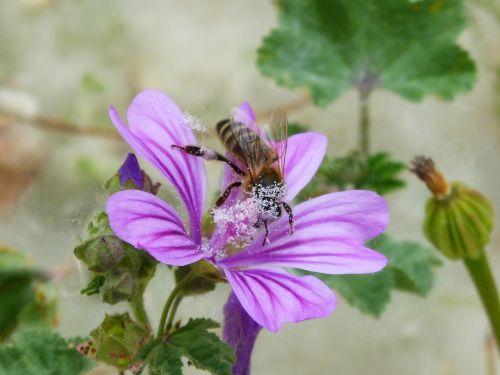 bee pollen pollinate