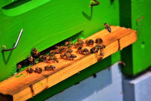 bee bees honey bee