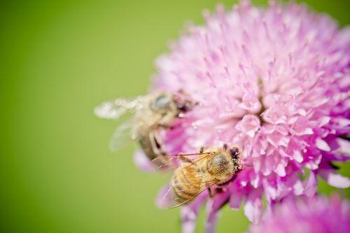 bičių,žiedas,žydėti,žiedadulkės,medaus BITĖ,apdulkinimas,vasara,gyvūnas,pieva,vabzdys,gėlė,augalas,gamta,bičių žiedadulkės,Uždaryti,makro
