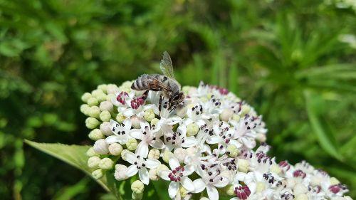 bee honey bee anthophila