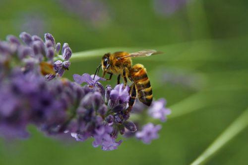 bičių,apdulkinimas,žiedadulkės,vabzdys,makro,geltona,biologija,gamta,levanda,aplinka,ekologija,laukiniai,buveinė,pavasaris,vasara,oranžinė,dryžuotas,išsaugoti