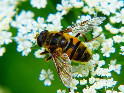 bičių,medaus BITĖ,vabzdys,Uždaryti,Jarrow,didžiulis,pabarstyti,makrofotografija,žiedadulkės,nektaras,surinkti,rinkti nektarą,bičių žiedadulkės