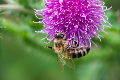 bee thistle blossom