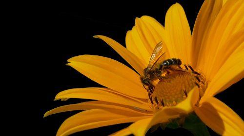 bee honey bee bee on yellow flower