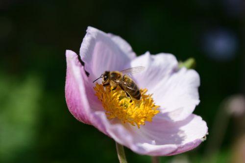 anemonis,Anemone nemorosa,bičių,žiedas,žydėti,balta,Uždaryti,surinkti,medus,pabarstyti,žiedadulkės,alkanas,maistas