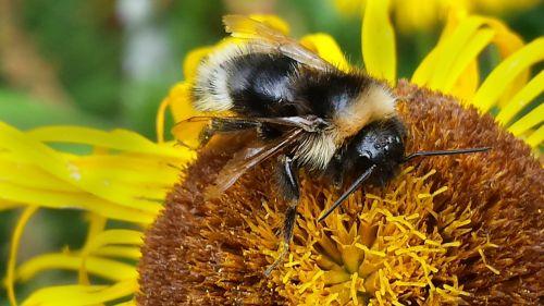 bičių,makro,vabzdys,žiedas,žydėti,gėlė,bitė ant gėlių,gamta,žiedadulkės,pabarstyti,apdulkinimas,augalas,Uždaryti,gyvūnas,nektaras,geltona