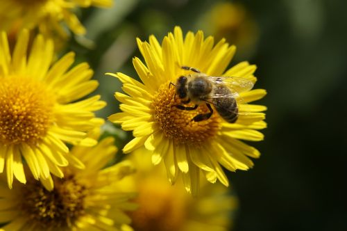 bičių,nektaras,žiedadulkės,apdulkinimas,rinkti žiedadulkes,gėlė,vasara,vabzdys,žiedas,žydėti,žydėti,užimtas bičių,geltona,Uždaryti,medaus BITĖ,augalas,makro,rinkti nektarą