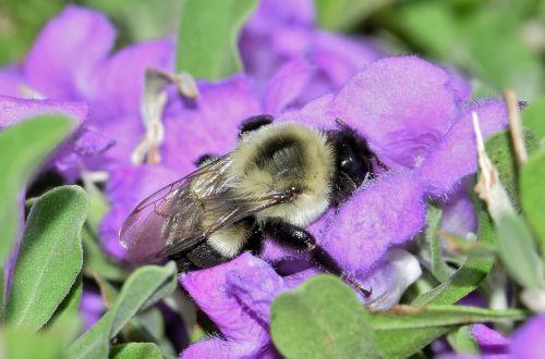bee bumblebee flowers
