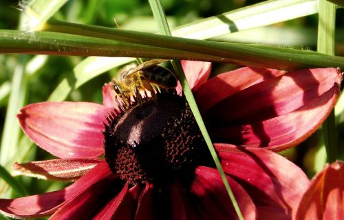 bee collect nectar close