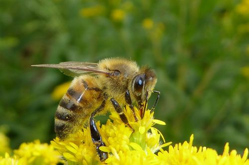 bee bug insects