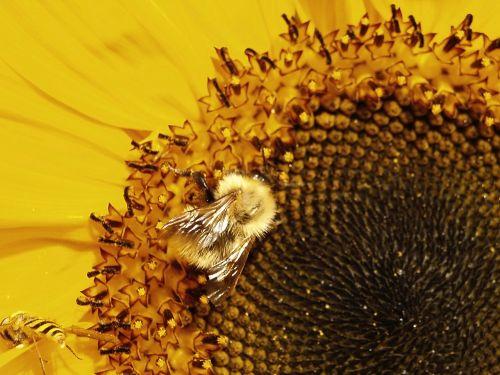 bee bumblebee pollinate