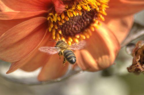 bičių,gėlė,oranžinė,sodas,vabzdys,gamta,gražus,skristi,sparnai,pavasaris,aplinka,apdulkinimas,žiedadulkės,bitininkystė