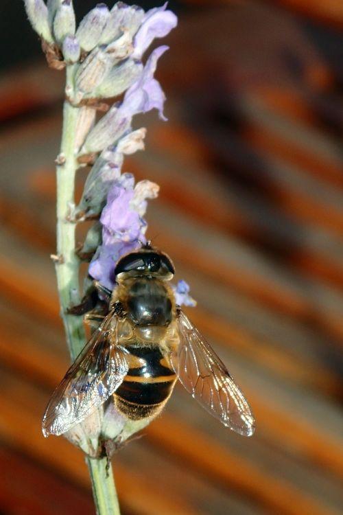 bee lavender wings