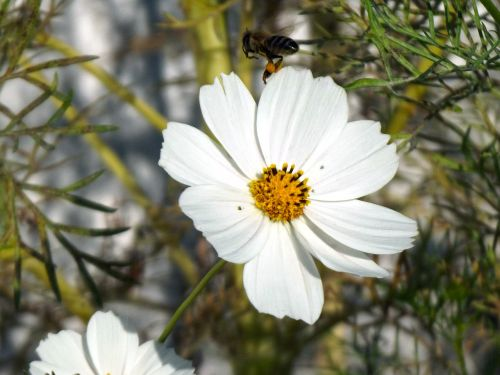 bee flower cosmos