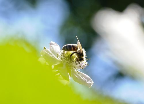 bee blossom bloom