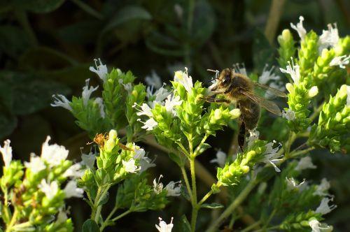 bee marjoram foraging