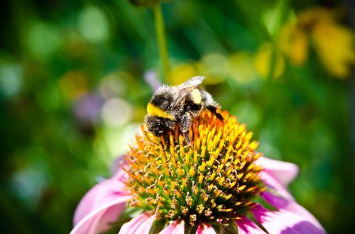 bičių,bičių rinkti žiedadulkes,kamanė,artimas vaizdas,gėlė,žalias,vabzdys,vabzdžiai,žiedadulkės,vasara,geltona