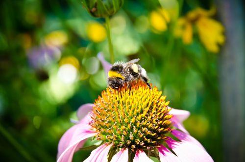 bičių,bičių surinkimo žiedadulkės,kamanė,artimas vaizdas,gėlė,žalias,vabzdys,vabzdžiai,žiedadulkės,violetinė,purpurinės gėlės,vasara,geltona