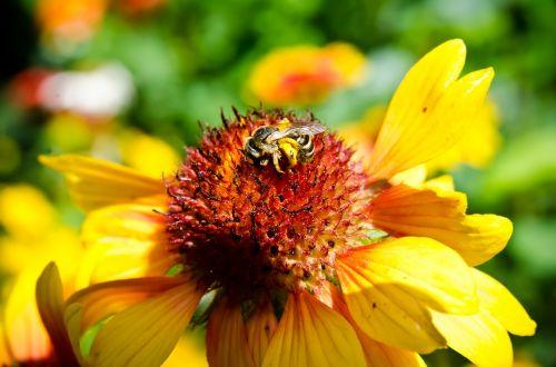 bičių,bičių rinkti žiedadulkes,kamanė,artimas vaizdas,gėlė,žalias,vabzdys,vabzdžiai,žiedadulkės,vasara,geltona,geltona gėlė