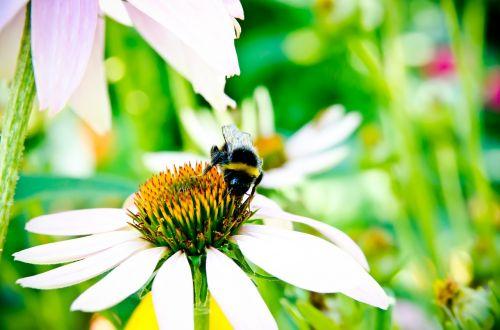 bičių,bičių rinkti žiedadulkes,kamanė,gėlė,žalias,vabzdys,vabzdžiai,žiedadulkės,violetinė,purpurinė gėlė,vasara,geltona