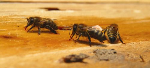 bee bees honey bees