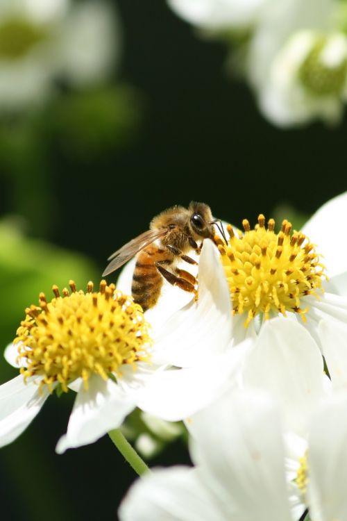bee pollen flower