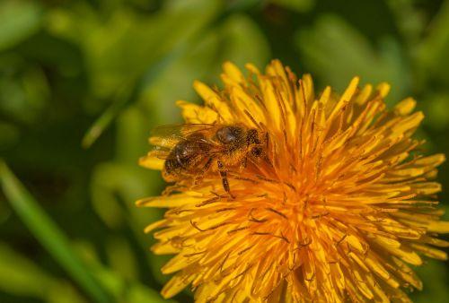 bičių,gėlė,kiaulpienė,augalas,vabzdys,gamta,žiedas,žydėti,makro,Uždaryti,medus,vasara,pavasaris,Hummel,geltona,rinkti žiedadulkes,apdulkinimas