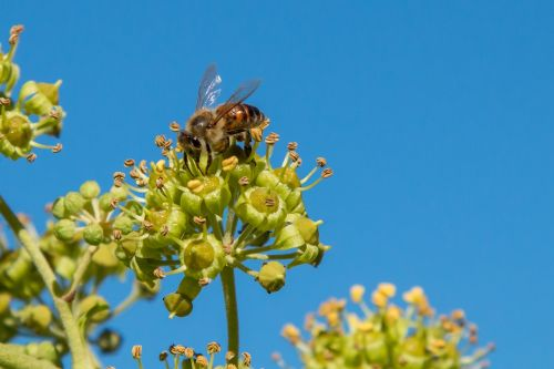 bee nectar honey bee