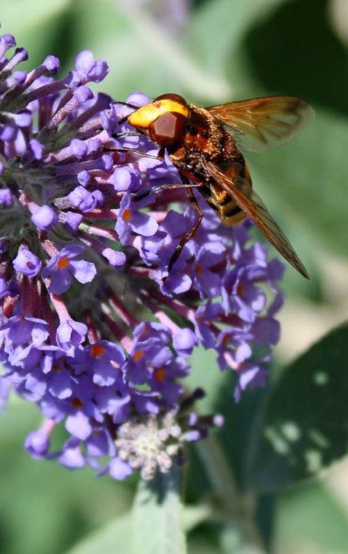 bee flower honeybee
