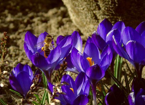 bičių,Crocus,medaus BITĖ,maitinimas,vabzdys,pavasaris,mėlynas,sodas,pavasario pranašys,žiedadulkės,žiedas,žydėti,bičių žiedadulkės,pabarstyti,Uždaryti