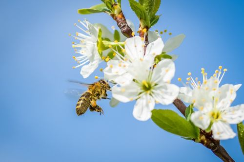 bee,cherry blossom,spring,fruit tree,blossom,bloom,nature,blossom,honey bee,honey,bloom,collect,pollination,sprinkle,cherry,white blossom,insect