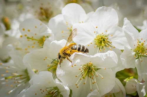 bee cherry blossom spring