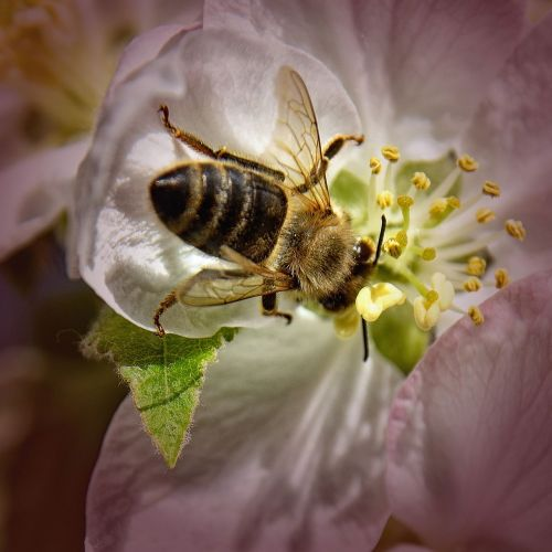 bee,apple tree blossom,close,blossom,bloom,apple blossom,nature,spring,pollination,insect,white flowers,animal