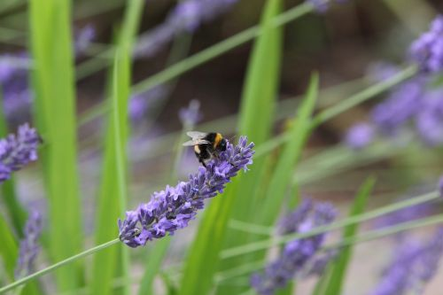 bee lavender insect