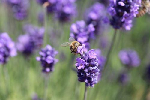 bee pollen nature