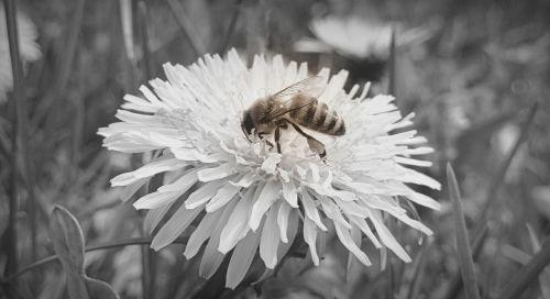 bee sonchus oleraceus nectar