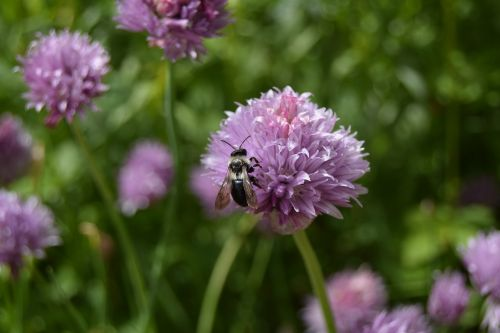 bee chives flower