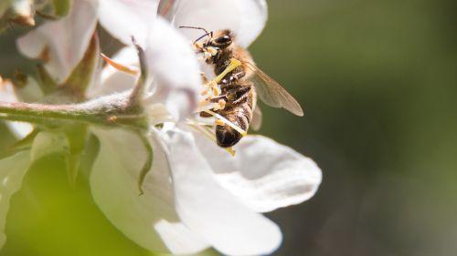 bičių,žiedas,žydėti,pavasaris,nektaras,apdulkinimas,žydėti,bitės,gamta