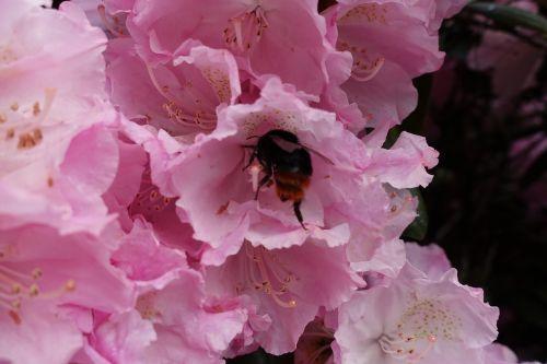 bičių,bitės,medaus BITĖ,medaus BITĖ,antofilas,darbo bičių,vasara