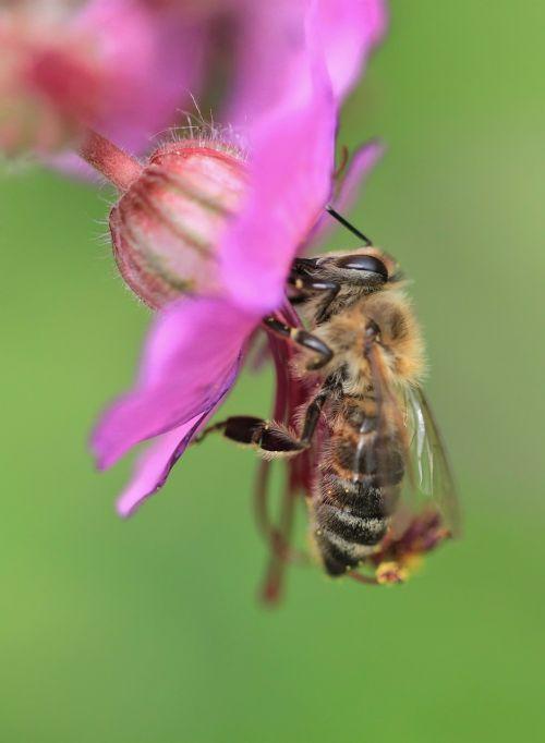 bičių,makro,gėlė,žiedas,žydėti,vabzdys,augalas,apdulkinimas,Uždaryti,vabzdžių makro,gamta,gėlės,vasara,žydėti,žiedadulkės,cranebill,spalva,flora,bičių žiedadulkės,sodas