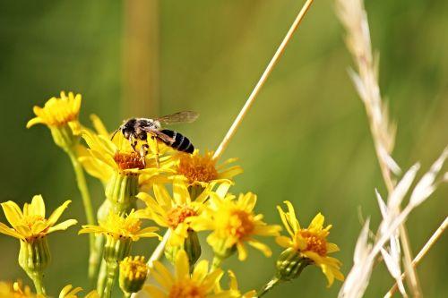 bee flowers yellow