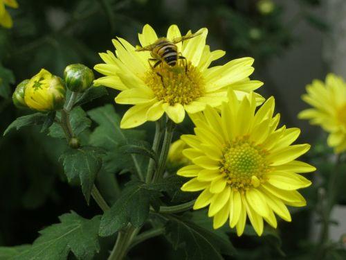 bee flowers chrysanthemum