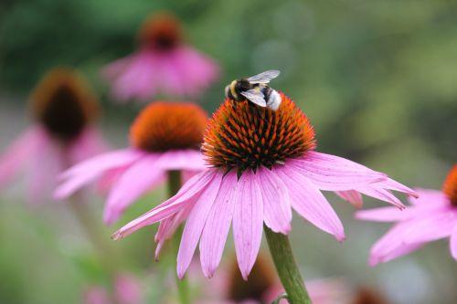 bičių,apdulkinimas,medus,medus derlius,bičių žiedadulkės,žiedadulkės,žiedas,žydėti,pabarstyti,vabzdys,gėlė,gamta,nektaras,Uždaryti