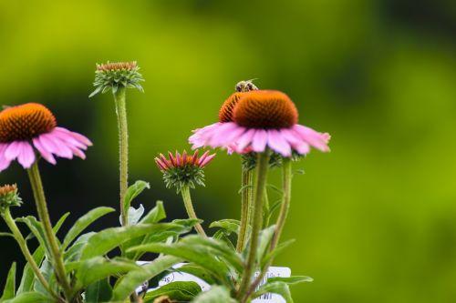 bičių,saulės skrybėlės,gėlė,judėjimas,vasara,gamta,out,judant,sodas,augalas,veikloje,žaisti,vabzdys,Uždaryti,makro,medus,isp,Bokeh,žydėti,rinkti nektarą,rinkti žiedadulkes,žiedadulkės,žiedas,žydėti,medaus BITĖ,naudinga,oranžinė