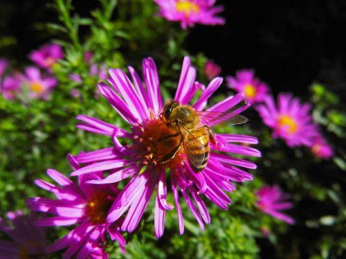 bee herbstaster flower
