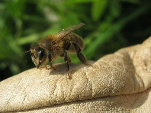 bee honeybee insect